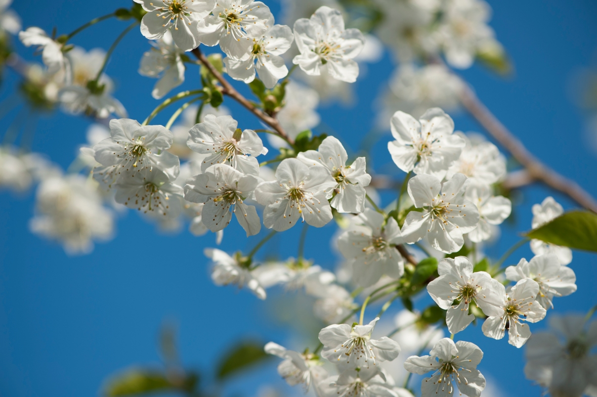 Cherry blossoms against a blue sky by Samantha Jones Photography